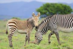 Mountain Zebra grazing in green fields Stock Photography