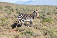 Mountain Zebra in Karoo NP Royalty Free Stock Photos