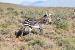 Mountain Zebra in Karoo NP Royalty Free Stock Photos