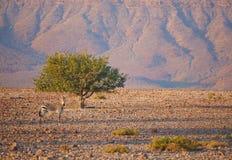 Mountain Zebra Royalty Free Stock Photos