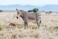 Mountain zebra mare with foal Royalty Free Stock Photo