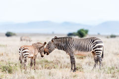 Mountain zebra mare with foal stock photos