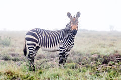 Mountain zebra in the mist Stock Images