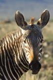 Mountain Zebra Profile Stock Photography