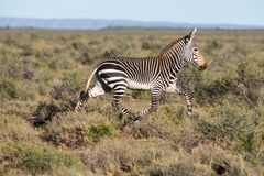 Mountain Zebra Running Royalty Free Stock Photo