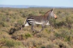 Mountain Zebra Running Royalty Free Stock Photo