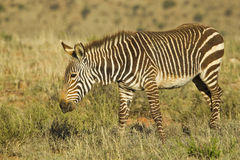 Mountain zebra walking and chewing grass Stock Photography