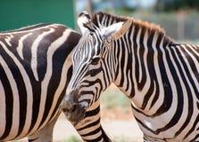 Mountain zebra. Stock Photos