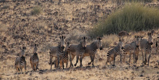Mountain Zebras Royalty Free Stock Images