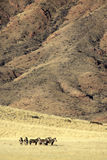 Mountain zebras in the desert of Namibia Royalty Free Stock Images