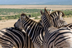 Mountain zebras. (Equus zebra) in Addo Elephant National Park, South Africa Royalty Free Stock Photo