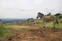 Mountain zebras (Equus zebra). In the rural area in Pretoria, South Africa Royalty Free Stock Images