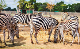Mountain zebras. Royalty Free Stock Photo