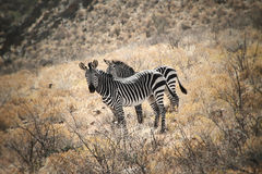 Mountain Zebras. Two zebras standing in namibian mountains Royalty Free Stock Photos