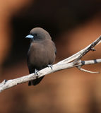 Mountainbird Stock Photo