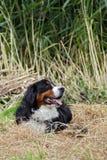 Mountaindog de Bernese Foto de archivo