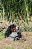 Mountaindog di Bernese Fotografia Stock
