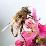 Mountaineer. A small bee scales the escallonia blooms royalty free stock photo