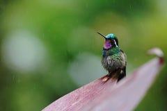 Mountaingem Púrpura-throated, Costa Rica Imagen de archivo