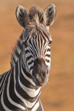 Mountainl zebra portrait. Stocky and horse-like.  Black and white stripes, no shadow stripes. Stripes do not extend on to under parts. Prominent dewlap on throat Royalty Free Stock Images