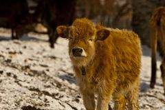 Mountainous calf Stock Images