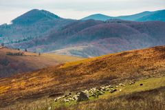 Mountainous countryside in deep autumn. Almost leafless forest in haze in the distance. herd of sheep on the nearest meadow royalty free stock photo