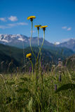 The mountainous flowers Royalty Free Stock Images