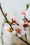 Mountainous peach blossoms in nature. Royalty Free Stock Images