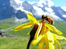 A bee on a mountain flower royalty free stock images