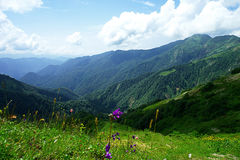 The mountains and Alpine flowers in clear weather. Alpine meadows and mountain flowers on a background of distant mountains. There are lots of beautiful clouds Stock Photography