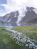 Mountains altai flowers lakes glaciers Royalty Free Stock Images
