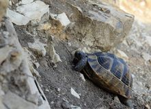 Turtle creeping uphill stock photo