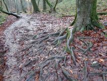 The roots of the hornbeam in the fallen leaves. Mountains autumn trees moss granite gorge the roots of the sycamore hornbeam leaves Royalty Free Stock Photos
