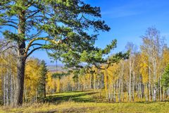 Free Mountains Covered With Golden Birch Forest And Old Green Pine Tree Royalty Free Stock Photography - 160932257