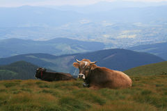 Mountains cows Royalty Free Stock Photography