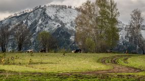 Mountains and cows. Snowy mountains and some cows stock photos