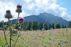 Mountains with detail of purple thistle. Slovakian Mala Fatra mountain range with detail of purple thistle Royalty Free Stock Image