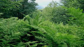 Mountains' fern thickets landscape. Mountains' fern thickets on the slopes of the Carpathians stock footage