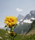 Mountains flower Royalty Free Stock Photography