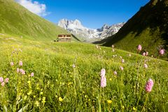 Mountain flowers in the valley. Chauhi peaks. Mountain camp Royalty Free Stock Images
