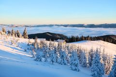 Mountains in a foggy morning and snow-covered green Christmas trees.Marvelous winter background. Beautiful Christmas holliday. Mountains in a foggy morning and royalty free stock photo