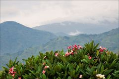 Mountains of forest  Bwindi. Mountains of wood Bwindi. Behind a juicy green bush with red colors the kind on mountains hidden by a fog and clouds opens Royalty Free Stock Photography