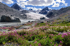 Mountains glacier flowers chamomile willow-tea. A colorful view on the Sophia glacier, the river, pointed snowy peaks of the mountains and bright flowers of Royalty Free Stock Images