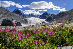 Mountains glacier flowers chamomile willow-tea. A colorful view on the Sophia glacier, the river, pointed snowy peaks of the mountains and bright flowers of Royalty Free Stock Photo
