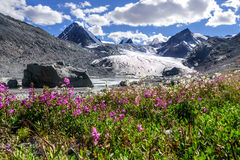 Mountains glacier flowers chamomile willow-tea. A colorful view on the Sophia glacier, the river, pointed snowy peaks of the mountains and bright flowers of Stock Image
