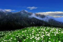 Mountains. Glade of white flowers on a background of mountains and blue sky Royalty Free Stock Photos