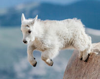 Mountains Goats of Colorado. Wild mountain goats in the Rocky Mountains of Colorado Royalty Free Stock Image