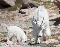 Mountains Goats of Colorado Stock Photos