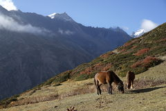 The mountains and horses in Annapurana Circuit. Trekking in Yak Kharka,Manang,Annapurana Circuit,Pokhara,Nepal.all photos are original and with no photoshop royalty free stock images
