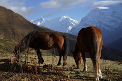 The mountains and horses in Annapurana Circuit. Trekking in Yak Kharka,Manang,Annapurana Circuit,Pokhara,Nepal.all photos are original and with no photoshop royalty free stock image